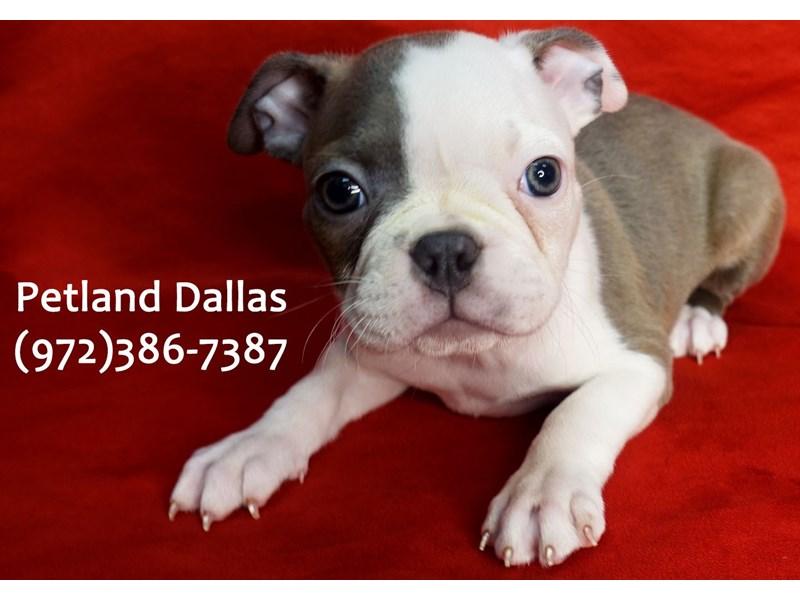Boston Terrier-Female-Blue and White-3101451-Petland Dallas, TX