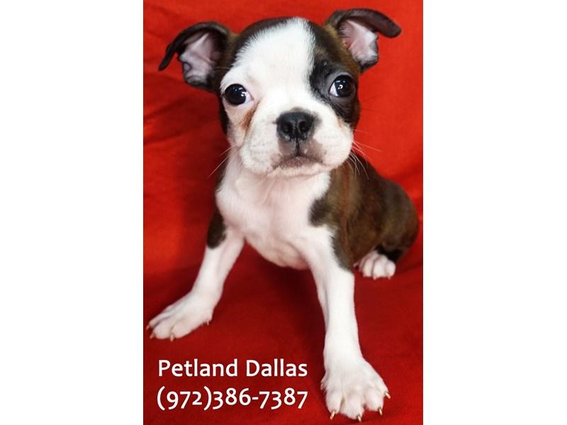 Boston Terrier-Male-Brindle and White-3101422-Petland Dallas, TX