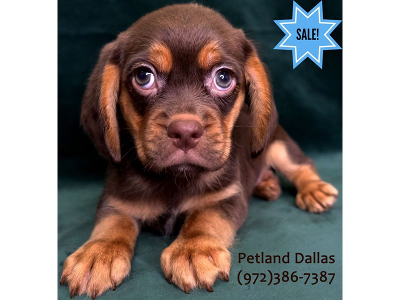 Puggle-Male-Chocolate / Tan-3058324-Petland Dallas, TX