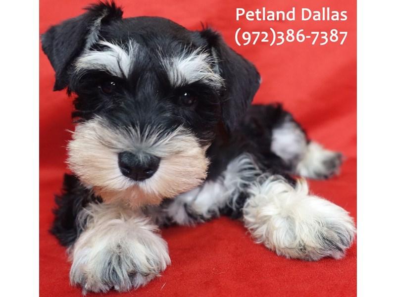 Miniature Schnauzer-Female-black and silver-3113008-Petland Dallas, TX
