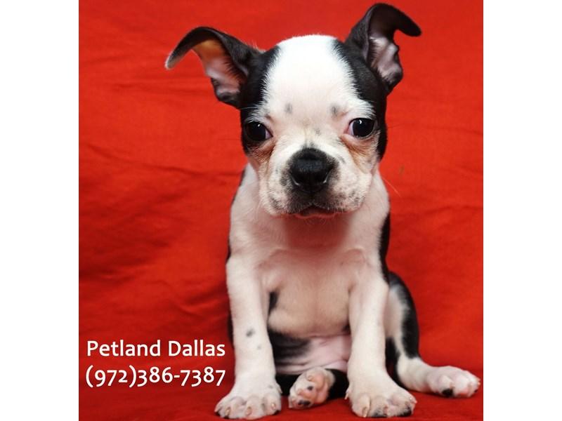 Boston Terrier-Female-Black and White-3101430-Petland Dallas, TX