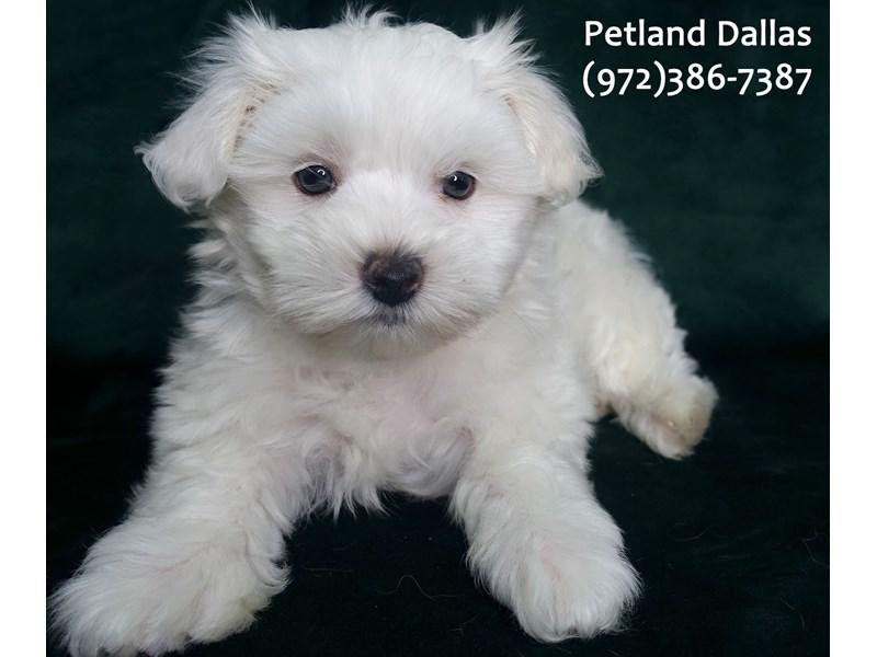 Maltipoo-Male-White-3111709-Petland Dallas, TX