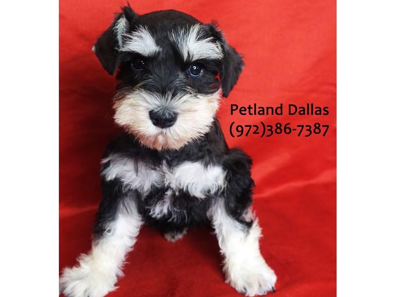 Miniature Schnauzer-Male-black and silver-3113001-Petland Dallas, TX