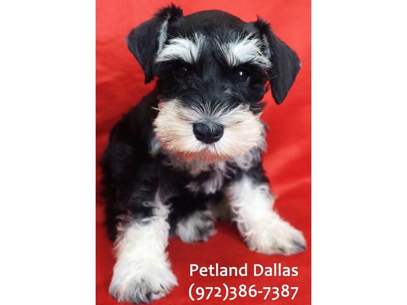 Miniature Schnauzer-Female-black and silver-3113013-Petland Dallas, TX