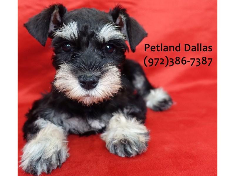 Miniature Schnauzer-Female-black and silver-3113014-Petland Dallas, TX