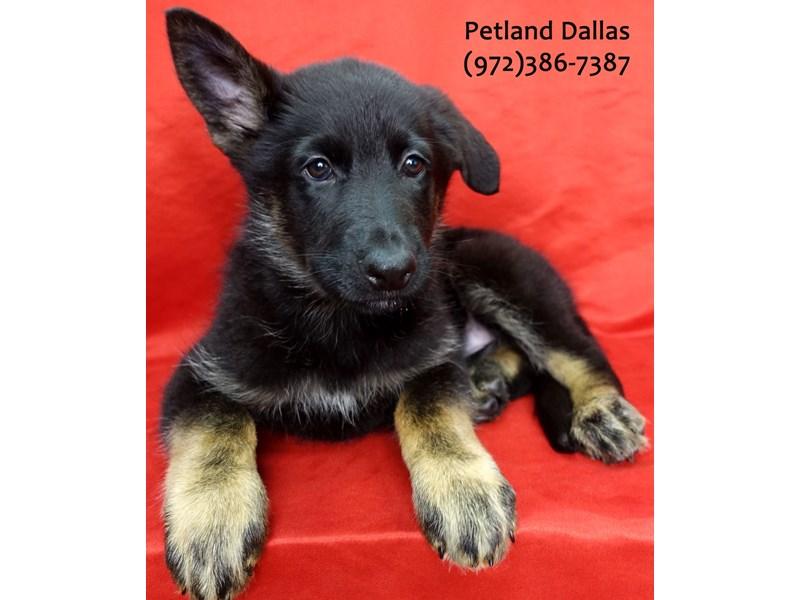 German Shepherd-Female-Black Tan-3131269-Petland Dallas, TX