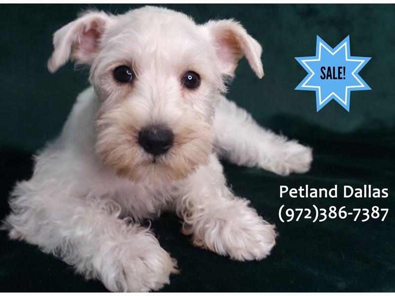 Miniature Schnauzer-Female-White-3090581-Petland Dallas, TX