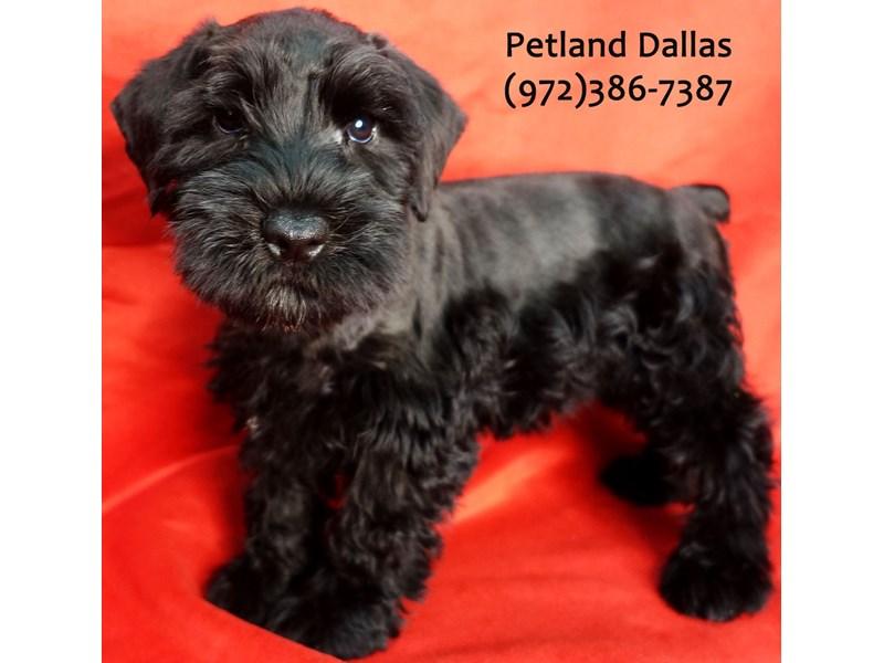 Miniature Schnauzer-Male-Black-3154661-Petland Dallas, TX