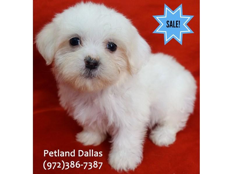 Maltese-Male-White-3090481-Petland Dallas, TX