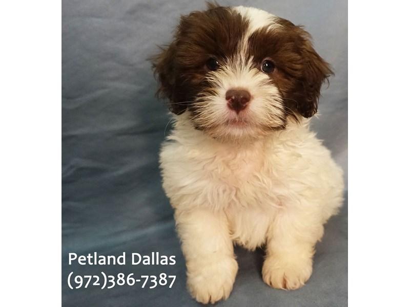 Maltipoo-Male-Chocolate & White-3157337-Petland Dallas, TX