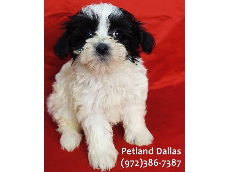 Maltipoo-Male-Black & WHite-3157335-Petland Dallas, TX