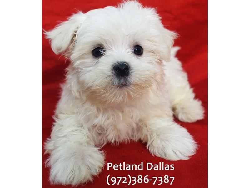 Maltese-Female-White-3164669-Petland Dallas, TX