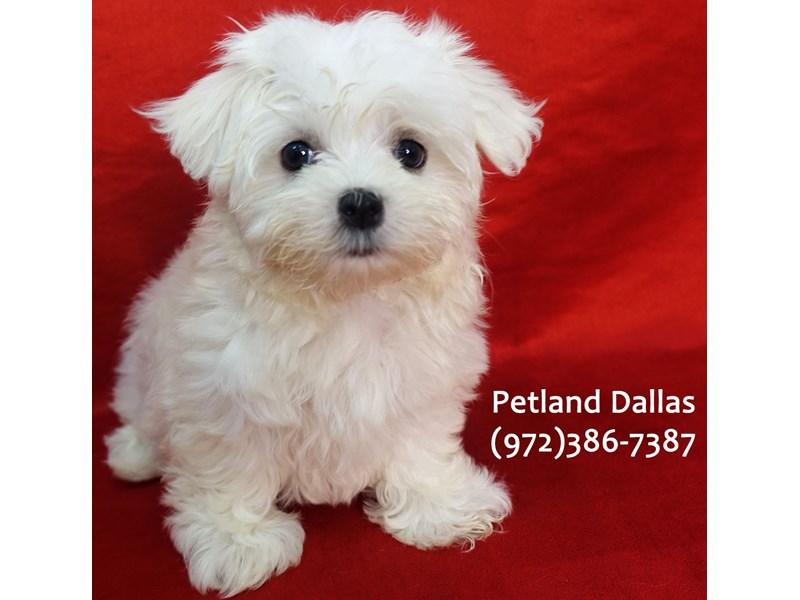 Maltese-Female-White-3164667-Petland Dallas, TX