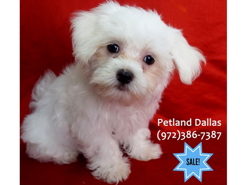 Maltese-Female-White-3112942-Petland Dallas, TX