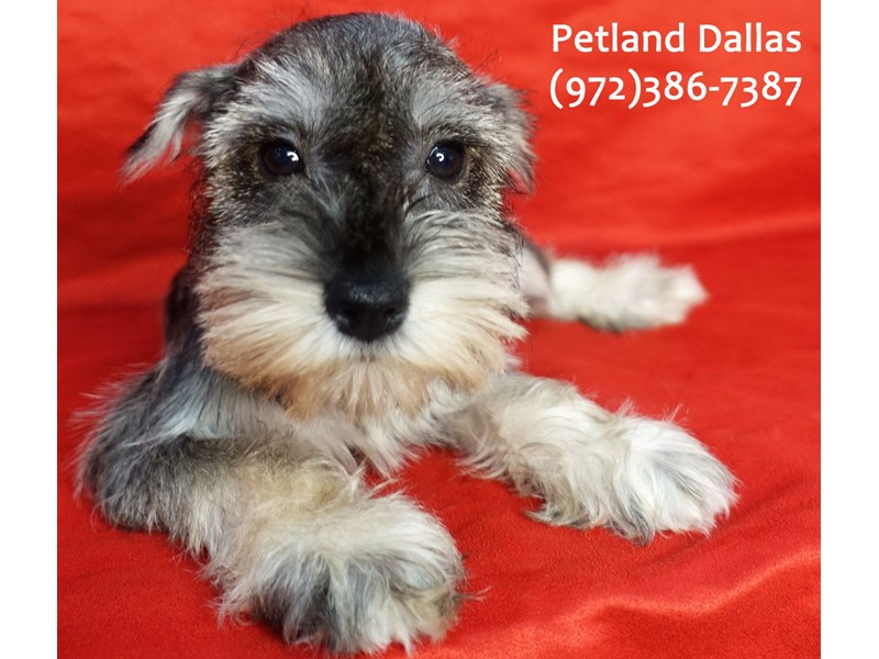 Miniature Schnauzer-Female-Salt / Pepper-3182865-Petland Dallas, TX