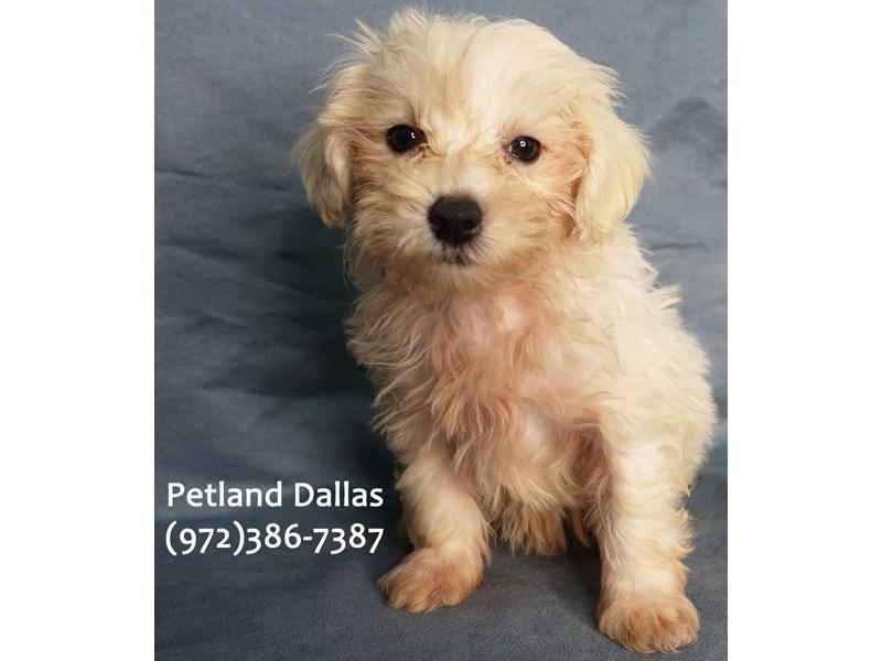 Maltipoo-Male-White & Cream-3185360-Petland Dallas, TX
