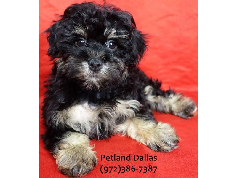 Maltipoo-Female-Black & Tan-3185359-Petland Dallas, TX